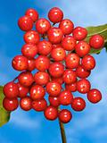 Red viburnum berries against a background of blue sky