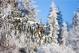 Pine cones on the branch covered with fluffy snow