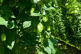 detail of a hop plant with fruits