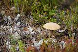Mushroom among moss and lichen