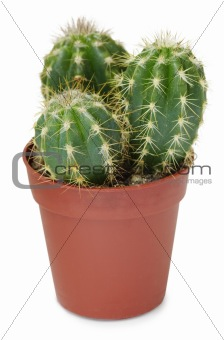 Cacti in small pot on white background