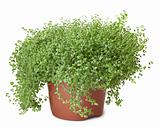 Potted green plant on white background - Soleirolia