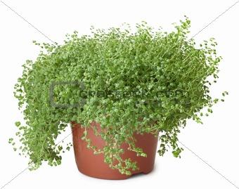 Potted green plant on white background - Soleirolia
