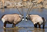 Two Gemsbok standing in water