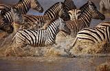 zebra's running through water