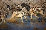 zebra's running through water