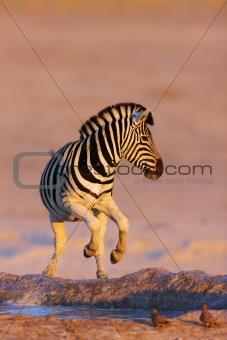 Zebras jump from waterhole