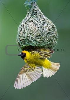 Masked weaver at nest