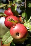 Organic apples on a tree