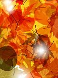 Light through autumn leaves