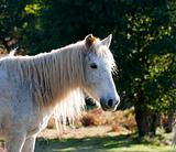 White  pony in  field