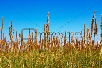 Cereals wild plants