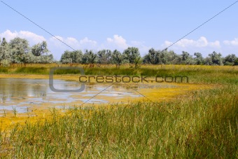 Salt marsh covered with water plants (I)