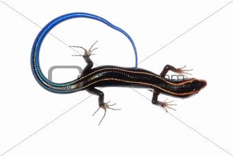 skink lizard
