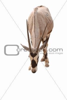 African oryx gemsbok isolated