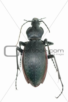 insect ground beetle