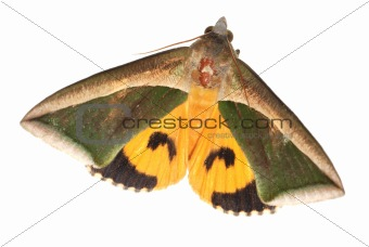 insect moth