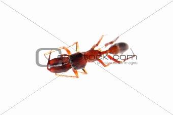 ant mimic spider myrmarachne