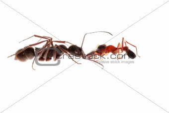 ant and ant mimic spider