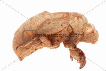 cicada molt isolated