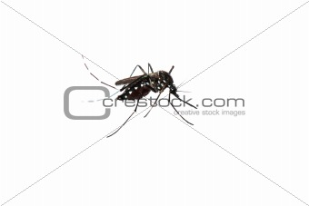 mosquito isolated