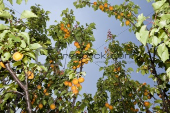 Apricots on a branch