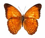 Malay Yeoman Butterfly