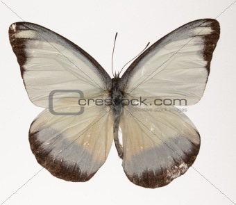 Chocolate Albatross Butterfly