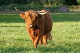 Cow-1