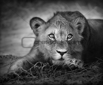 Young lion portrait