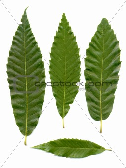 Green chestnuts leaves