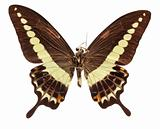 Malabar Banded Swallowtail Butterfly (underside)