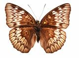 Butterfly (Tanaecia munda waterstradti)