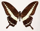 Malabar Banded Swallowtail Butterfly