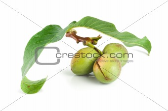 Branch of a walnut isolated on a white