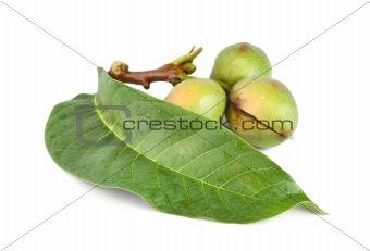 Branch of a walnut