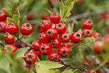 Hawtorn berry