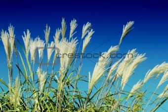 crops field