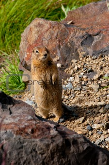 Ground squirell at Denali National Park, Alaska