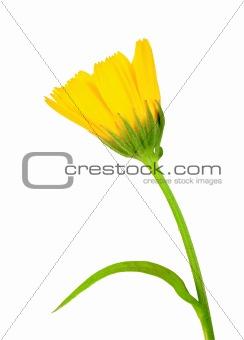 One yellow flower of calendula