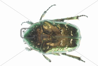 green insect beetle