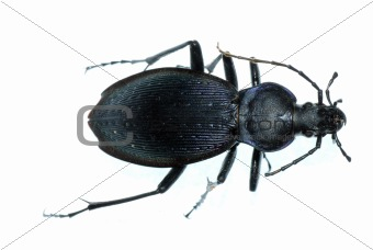 insect ground beetle bug
