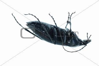 insect ground beetle bug