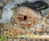 reptile animal lizard eye