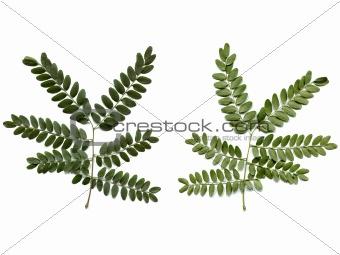 Carob leaf