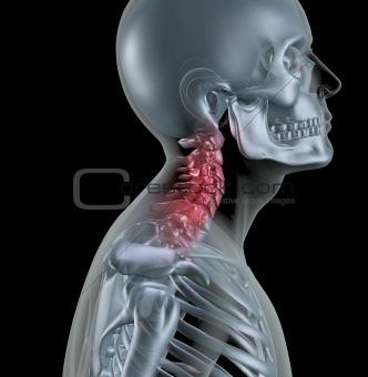 Skeleton showing neck bones