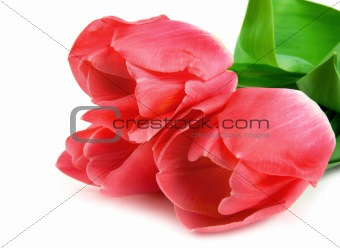 Three beautiful pink tulips isolated