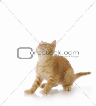 kitten ready to jump