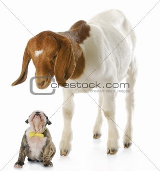 puppy and goat