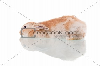 beautiful bunny lying